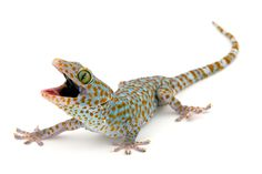 Tokay gecko...the gecko uses 'dry adhesion' to stick to surfaces as smooth as glass.