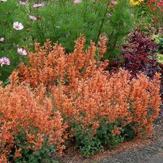 Kudos Mandarin Agastache Plants produce beautiful, bright orange flowers on short, upright spikes that are held above mounds of green foliage. Flowers continuously from early summer right into September. The fragrant foliage attracts butterflies, bees and hummingbirds. How To Attract Hummingbirds, Attracting Hummingbirds, Bee Hummingbird, Plant Sale, Orange Flowers, Perennials, Bloom, Mint, Plants