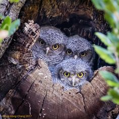 https://flic.kr/p/Xm7Vts   Baby Western Screech-Owls [Honorable Mention, Home Tweet Home 2017] [Explored]   Received Honorable Mention award in Home Tweet Home 2017 photo contest hosted by NestWatch, the Cornell Lab of Ornithology. visit the following link for more information.  nestwatch.org/connect/hth-contest-2017/curious-baby-owls/  photographed at Lafayette-Moraga Regional Trail, Lafayette, California.  Thank you all for your views, faves, and comments.
