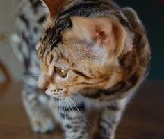 Katznjamr Bengal Cats