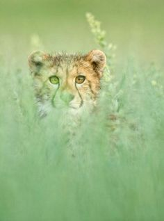 Morkel Erasmus Photography -  Cheetah cub hidden