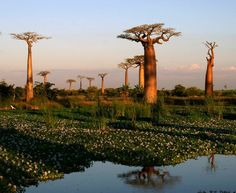 Peaceful Sunset - Morondava, Toliara  Baobab Alley, Madagascar