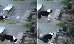 The hilarious moment a dog mistook a statue of the World War II codebreaker Alan Turing for a real person has been caught on camera.  Robbie the border collie is seen by the bronze memorial in Sackville Park in Manchester, England, running back and forth and whimpering in confusion.  When he doesn't get any reaction from his new playmate, the canine then picks up a stick and tries to place it in the statue's hand.
