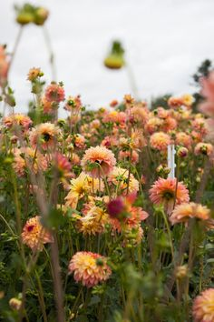 Dahlia Time at Floret Flower Farm from @leslieshewring