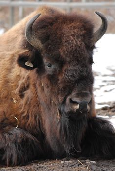 Oh my gooooodness bison are sooooo cute! Definitely one of my favourite animals. I just wanna squiiish his fluffy face :}