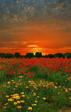Poppies and buttercups, with fire in the sky - Texas Hill Country. I can't wait for Spring! dd