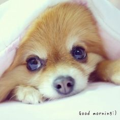 Have a nice day / nice dream - @Taluggy & Mogu | Webstagram #Pomeranian