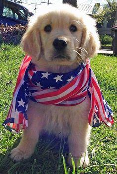 Gotta love a patriotic golden retriever puppy dog - of July, American flag Cute Puppies, Cute Dogs, Dogs And Puppies, Doggies, Corgi Puppies, Retriever Puppy, Golden Retriever Mix, Golden Retrievers, Labrador Retrievers