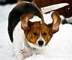 Basset hound running through snow