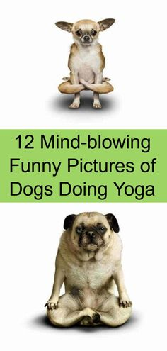 12 Mind-blowing Funny Pictures of Dogs Doing Yoga Funny Animal Pictures, Funny Animals, Dog Doing Yoga, Funny Dogs, Funny Memes, Life Memes, How To Do Yoga, Mind Blown, Weird