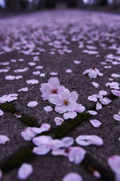 Cherry tree blossoms scatter the ground and its so magical to walk among them.