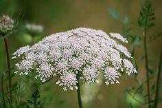 Wisconsin Wildflower. Queen Ann's Lace. Dries nicely when pressed.
