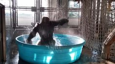 Zola, a gorilla at the Dallas Zoo, showed off his great dance moves during a swimming pool enrichment session. Dallas Zoo, Western Lowland Gorilla, Le Zoo, Texas, Kiddie Pool, Life Challenges, The Weather Channel, Mundo Animal, Cool Pools