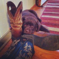 Our chocolate lab puppy has a boot fetish. Soooo cute.  Tessie the Chocolate lab. Labrador retriever.
