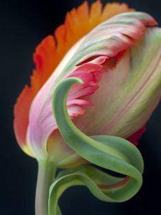 Lovely Parrot Tulip