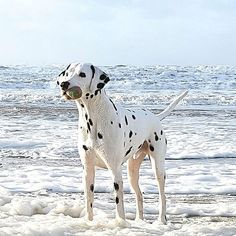 #dalmatian #dalmatiansofinstagram #dalmatians_of_instagram #dalmata #dalmatians #dalmatianspotlight #dogphotography #dogsandpals #doglovers #doglife #topdogphoto #topdog #ilovemydog #beachdog #ruffpost #bestwoof #ilovedogs #barkbox #dogsofig #dogscorner #dogoftheday #picoftheday #dogs #waterdog #beachlover #beach #dog #dalmatian_feature #dog_features #sendadogphoto