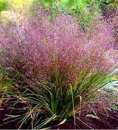 eragrostis spectabilis - plant in landscaping?