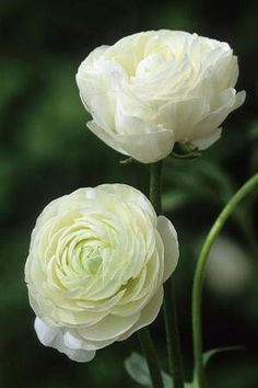 Ranunculus Double White