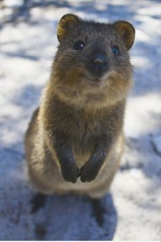 How cute can you get? The quokka pushes the limits. How cute can you get? The quokka pushes the limits. Happy Animals, Cute Funny Animals, Animals And Pets, Cute Creatures, Beautiful Creatures, Animals Beautiful, Quokka Animal, Cute Australian Animals, Tier Fotos