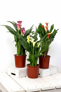 How to Grow Zantedeschia beautiful flowers Calla, Lily.Caring for Your Zantedeschia. Calla Lily Flowers, Bright Flowers, Large Flowers, Calla Lillies, Indoor Trees, Indoor Flowers, Zantedeschia Aethiopica, Kalanchoe Blossfeldiana, Growing Plants Indoors