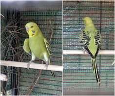 my new boy...Grey Green Opaline, so luv his striped tail