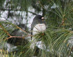 Male Junco in Pine-Audubon Society