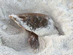 Sea Turtle burying in the sand in #SouthWalton, #Florida
