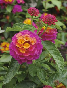 The lantana perennial blooms with little or no care, without having to be deadheaded or prompted in any way. Find more Southern perennials in The 2014 All-Seasons Garden Guide! Photo credit: MediaBakery