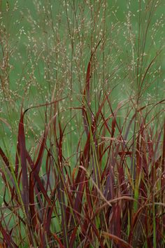 The red type of switchgrass (Panicum virgatum 'Shenandoah') puts on quite a color display. Learn about other types of ornamental grass in this article, which organizes them according to height: http://landscaping.about.com/od/lazylandscaping/a/grass_pictures.htm
