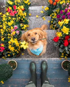 Golden Retriever Puppies – 5 Things To Search For When Purchasing A Puppy Animals And Pets, Baby Animals, Funny Animals, Cute Animals, Cute Puppies, Cute Dogs, Dogs And Puppies, Doggies, Funny Dogs