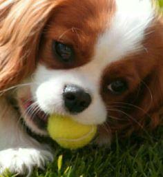 Loving me my tennis ball! Cavalier puppy