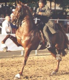 All time favorite horse...WGCH CCV Casey's Final Countdown...American Saddlebred as a 4 year old!!
