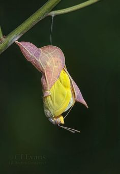 Emergence, Orange-barred Sulphur butterfly emerging from its chrysalis