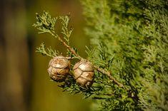 Το αιθέριο έλαιο κυπαρίσσι έχει πολλά οφέλη για την υγεία Outdoor Decor, Food, Essen, Meals, Yemek, Eten