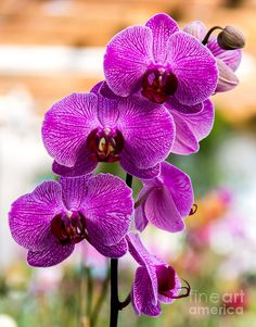 Purple Orchids In Sunlight Photograph by Sophie Doell - Purple Orchids ...