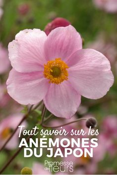 The Japanese anemone is a pretty perennial of late summer, easy to grow. Home Flowers, Green Flowers, Flowers Garden, Garden Planters, Herb Garden, Anemone Du Japon, Garden Storage Shed, Flower Garden Design, Plant Needs