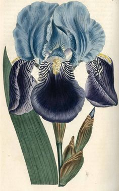 Design your own custom-framed art with our step-by-step tool! Botanical Drawings, Botanical Prints, Vintage Botanical Illustration, Illustration Blume, Vintage Flowers, Painting & Drawing, Vintage Art, Flower Art, Illustrations