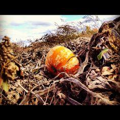 Harvesting squash and pumpkin.