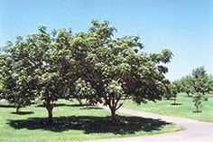 Find Showy Mountain Ash (Sorbus decora) in Burlington Waterdown Dundas Ontario Ontario ON at Connon Nurseries Mountain Ash Tree, Full Size Photo, Deciduous Trees, Small Trees, Nurseries, Landscaping, Berries, Eagle Lake, Eden Prairie