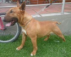 Odín bull terrier red smut