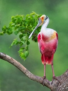 Roseate Spoonbill - beautiful big bird with tall thickbilled -Birds Photography - webdesignriches.com