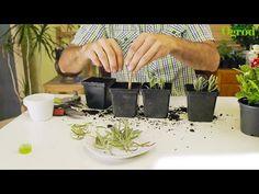 Jak rozmnożyć lawendę Begonia, Sad, Gardening, Plants, Balcony, Garten, Flora, Plant, Lawn And Garden