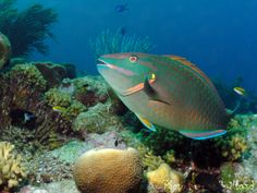 "Had several parrot fish swimming among the reefs in our ""back yard"" at our house in Belnem."