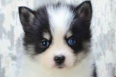 Pomsky Puppies for sale | Pomsky Breeder Ohio | Pomsky Pups