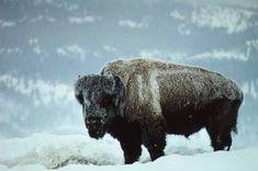 Yellowstone National Park, National Parks, American Bison, Fur Trade, Deer Skulls, Historical Images, Large Animals, Fauna, Brown Bear