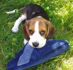 If you wouldn't leave your slippers laying around, I could be a better Beagle!
