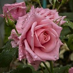 marigolds in garden Flower Arrangements, Pretty Flowers, Plants, Pink Roses, Rose Flower, Beautiful Flowers, Love Flowers, Roses Only, Marigolds In Garden
