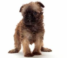 Brussels Griffon: Small Body, Big Mischief Charming but naughty is an accurate description of the Brussels Griffon. His ancestors include Terriers, Pugs and English Toy Spaniels, which gives him a lot of spice tempered with a little bit of nice.