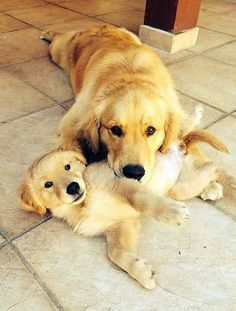 MOM AND HER BABY <3 <3 <3 <3 GOLDEN RETRIEVERS ARE AMAZING IN EVERY WAY <3 <3 <3 <3