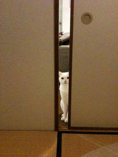 Peeking cat in a Japanese tatami room